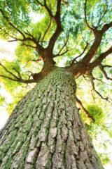 幹が太く育った大木