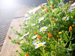 光の方へ咲き誇るマーガレット