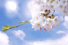 桜の花(合格のイメージ)